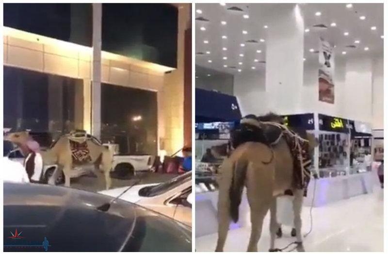 """بالفيديو: سعودي يقود ناقة داخل مجمع اتصالات بـ """"الرياض"""".. شاهد: ماذا فعلت"""