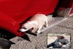 كلب يتعلق بإسعاف نقلت صاحبه مسافة 24 كيلو متراً