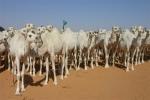 """""""الصومال"""" تعول على المملكة ودول خليجية لزيادة وارداتها من تصدير الإبل"""