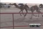 """""""الجذاب"""" للسيد فراج الشراري يفوز بالمركز الأول بسباق الهجن بالكويت"""