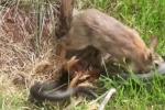 أنثى أرنب تطرد ثعباناً حاول التهام صغارها وتجذب 4.7 مليون مشاهدة (فيديو)
